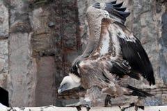 Хищник Griffon сидит на журнале хлопая свои огромные крылья, азиатский выноситель птицы стоковая фотография