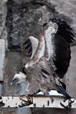 Хищник Griffon сидит на журнале хлопая свои огромные крылья, азиатский выноситель птицы стоковое фото