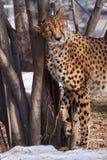 Худенький гепард с оранжевой кожей, освещенной по солнцу трет славно на дереве, большом запятнанном коте весной стоковое изображение rf