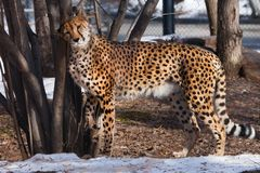 Худенький гепард с оранжевой кожей, освещенной по солнцу трет славно на дереве, большом запятнанном коте весной стоковые фото