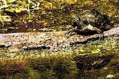 Щелкая черепаха рассматривает вне пруд надеясь вести счет некоторая еда стоковая фотография