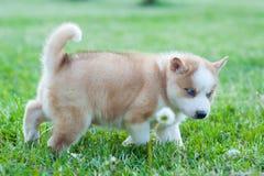 Щенок Брауна сиплый идя через траву стоковые фото