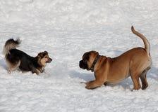 Щенок и шавка Bullmastiff играют на белом снеге Домашние животные стоковые изображения rf