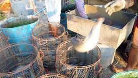 Работники сортируют размер сома в рыбоводческом хозяйстве перед логистическим или переходом для того чтобы выйти на рынок 4K ульт сток-видео