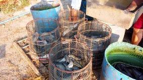 Работники сортируют размер сома в рыбоводческом хозяйстве перед логистическим или переходом для того чтобы выйти на рынок 4K ульт видеоматериал