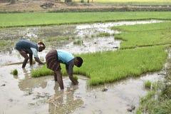Работник засаживая рис в земле стоковые фотографии rf
