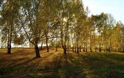Район Шарыпово берез в августе под заходящим солнцем стоковая фотография