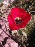 распущенный красивый красный тюльпан в траве Royalty Free Stock Photography