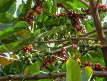 расти кофе стоковое фото rf