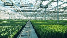 Расти цветков тюльпана в баках в парнике, культивируя индустрию сток-видео
