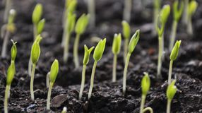 Растя перцы саженцев сладкие стоковое фото