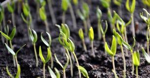 Растя перцы саженцев сладкие стоковая фотография rf