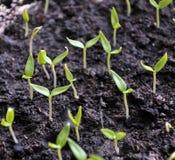 Растя перцы саженцев сладкие стоковые фото