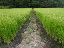 рис японии поля стоковые фотографии rf
