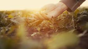 Рука фермера проверяя расти сбора, exaining почвы видеоматериал