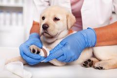 Руки ветеринарного здравоохранения профессиональные положили повязку на милую ногу щенка labrador стоковые фотографии rf