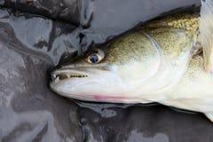 Рыбы уловили рыболовом на удить конкуренции стоковое фото rf