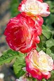 розы Желт-апельсина среди зеленой листвы стоковые изображения rf