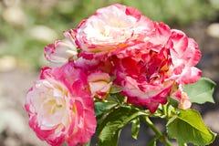 розы пука розовые стоковая фотография