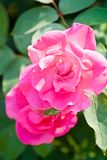 Розы Ppink среди листвы стоковое изображение rf