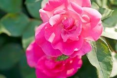 Розы Ppink среди листвы стоковые изображения rf