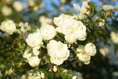 Розы Royalty Free Stock Photos
