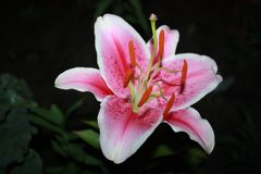 Pink Lily on black background royalty free stock photo