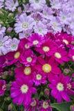 Розовая маргаритка в цветени стоковое изображение
