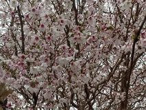 Розовые вишневые цвета 1 стоковые фото