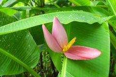 Розовые лепестки цветя банана зацветая на свежей картине лист venation зеленого цвета pinnately параллельной с капельками воды стоковые изображения