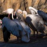 Розовые подпертые пеликаны и фламинго на Bioparc в Валенсия Испании 26-ого февраля 2019 стоковое изображение rf