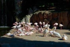 Розовые подпертые пеликаны и фламинго на Bioparc в Валенсия Испании 26-ого февраля 2019 стоковые изображения rf