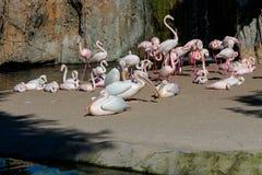 Розовые подпертые пеликаны и фламинго на Bioparc в Валенсия Испании 26-ого февраля 2019 стоковое изображение