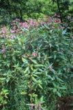Розовые цветки glandulifera Impatiens/гималайского бальзама в цветке в Сербии Косове стоковое изображение