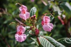 Розовые цветки glandulifera Impatiens/гималайского бальзама в цветке в Сербии Косове стоковое фото rf
