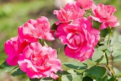 Розовые розы среди зеленой листвы стоковые изображения