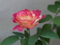 Розовый пинк стоковые фотографии rf