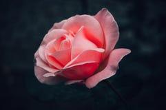 Розовый цветок в парке стоковые изображения