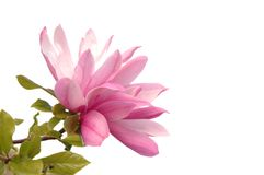 Розовый цветок магнолии изолировал белое стоковые изображения rf