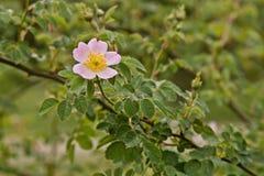 Розовый цветок на зеленой предпосылке стоковые фото