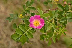 Розовый цветок на зеленой предпосылке стоковое фото rf