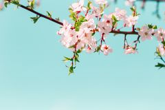 Розовый цветок Сакуры зацвести весной сезон Предпосылка текстуры тона винтажного сладкого вишневого цвета мягкая стоковое фото rf