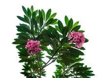 Розовый plumeria зацветая на дереве Frangipani с листьями изолированными на белой предпосылке стоковое изображение rf