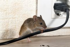 Ñ- loseup Maus zerfrisst Draht in einem Apartmenthaus auf dem Hintergrund der Wand und der Steckdose stockfoto