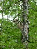 Ñ 在树的犹特人花栗鼠在森林里 免版税库存照片