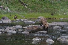 She-bear Ursus arctos with three cubs. stock photos