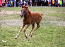 Уearling. During the Mongolian naadam festival Royalty Free Stock Photos