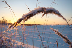 рlants covered with snow. Illuminated winter sun Stock Photos
