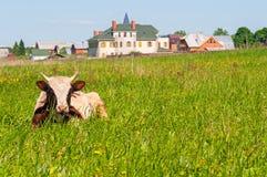 Ñ  ow na zielonej trawie Obrazy Royalty Free