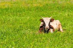 Ñ  ow na zielonej trawie Fotografia Stock